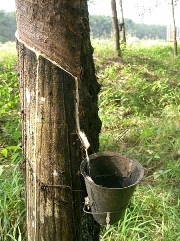 Latex being collected from a tapped rubber tree. Image by PRA via Wikipedia.